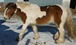 Charger's sire is an Imported Gypsy horse and his dam is a Draft cross. He is about 15 hands tall, and a bay & white Tobiano. Born November 24th, 2009. He has had 60 days of training 2 years ago. However, he could use another round of training, which is