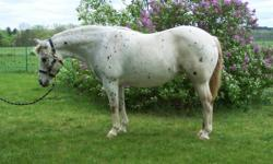 The Large Pony You've Been Looking For, but Never Can Find! TO EXCELLENT HOME ONLY Beautiful, 1999 Registered 14.1 hh POA Mare Proven in the Show Ring (Halter, English & Western, Jumping, Dressage). High Point POA Michigan. Sound, Dead Broke, Clips, Ties,