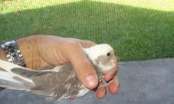 weaned and friendly i have two pieds and one grey creamface cockatiels available $100 for the grey and $150 for the pieds or take all three for $100 each