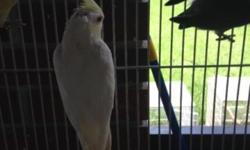 handfed creamface cockatiels have cf cinnamons split to pied ,pearl and lutino if males $100 each. creamface albino hen $150. also have some adults available contact for pricing on them