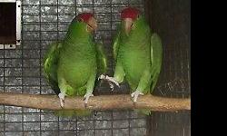Great pair, feed their babies. Cage & nestbox available if you pick up ($50). Excellent health & feather