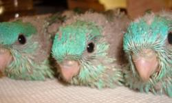 """Lineolated parakeets, aka """"linnies"""", make fantastic pets. They aren't like the """"parakeets"""" you find in pet stores. These little known gems of the bird world are quiet, outgoing little clowns that can talk well. (Do a search on Youtube for talking"""