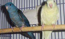 (8) Lineolated Parakeets Average Age Is 5 Years Old. Have Always Been Pets; Never Set Up For Breeding Purposes Although That Was The Plan. $450.00 Cash For All (8). Must Take All (8). Will Not Break Up The Group. Located In Zip Code 12601. NO SHIPPING! NO
