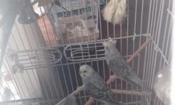 One pair of breeding Linnie's. Colbolt blue (male?) and a Turquoise (female?). $300.00 One pair of breeding Linnie's. Turquoise male and a green female. $300.00. One single unsexed green, Linnie less than one year old. $150.00 One olive green unsiex