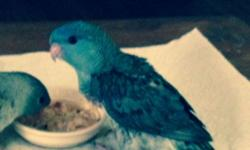 I have a 3 month old Cobalt female Linnie. Hand fed but not pet quality. She would make a wonderful breeder. I also have some Bourke Parakeets for sale. One two year old Rosa Bourke Male ready to breed for $125 and one 1 year old Male spit to Rubino ready