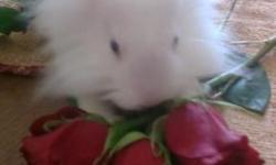 Baby lionhead bunny 1 month old Tel.832_837_3341 .i also have 2 blue eyes