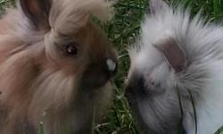 Beautiful, friendly rabbits ready for new homes! Several mini rex & lionhead rabbits! Place a deposit for your choice of show, pet, 4H or brood rabbit now!! Prices start at $25and go up with quality. Please contact for current availability!