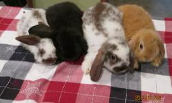 8 week old lionlop and minilop bunnies looking for new pet homes. Assorted colors and sexes