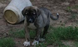 We have 5 registered Anatolian Shepherd pups. Born May 20, 2016. They have all been wormed and are up-to-date on their shots. They have been running with goats for most of their life and are starting to alert the herd and follow them around. We have two