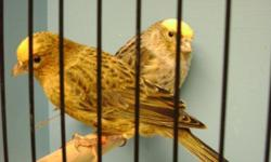 Available now some young breeders (2013)and juveniles(2014),in good feather,healthy and good color. We ship nationwide via USPS,or United airlines with live arrival guarantee.