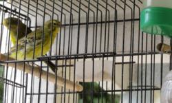 Hello im selling a pair of lizard canaries. If interested please text me at 5038759796 l live in san jose. Thank you
