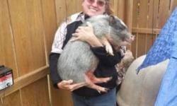I have 1 Adult Male Romeo (adult male) $150 Selling out due to declining health 918-520-2755 Jim