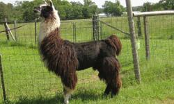All of our llamas are up for adoption through the southeast llama rescue.. We have 2 males left, a 4yo and a 14 yo, both recently gelded. Most of our llamas are fairly friendly. Most are halter and lead broke. We are retiring from llama breeding due to