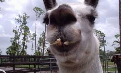 5 llamas some girls some fixed boys all safe and halter broke and agility trained for shows will be great for watching herd animals for you call me 561-792-266 6$ 600 each all wormed shots the works