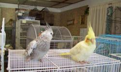 I am looking for a amazon parrott or a pair of cockatiels, I can give them a good loving forever home.
