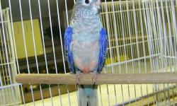 LOOKING to purchase Normal Bourkes with blue chested lines. I have a pair set up currently. These lines originated in North Carolina. Cindy in Ohio..Thanks for looking..