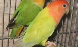 Compro lovebirds opalines,preferentemente machos. cualquier color,por favor llamarme al 305 244-3828. Luis... Looking for opalines lovebirds,any color, please contact me at 305 244-3828, Luis...