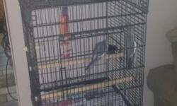 Looking to trade male cockatiel not tame for a tame female who will let you handle her. He is a grey prob best for breeding. He is in with s female now but she doesn't like him.