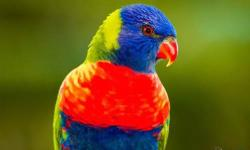 I HAVE A PAIR OR LORIKEETS READY TO BREED BUT NO SPACE FOR THEM IM OPEN TO TRADE THEM FOR A PAIR OF LUTINO BOURKS.