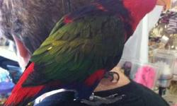 Lory/Lorikeet - Tiki - Medium - Young - Male - Bird Tiki is an approximately 4 year old Black-Capped Lory. He is tame and handlable and in good feather. He talks alot and is very friendly. We are looking for an experienced lory owner - lories have very