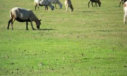 Lots and lots of hair sheep (ewes) for sale. Ewes are $60 each. Ewes with lamb at side, $100. And, as you can see in the picture, we raise miniature donkeys and have some of them for sale as well. Call for details, 530-200-5985. (I DO NOT have texting)
