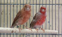 I have a few crosses for sale Mules & Hybrids. All very young birds 2014. Please TEXT if your interested. ABSOLUTELY NO SHIPPING. Redsiskin x Canary = F1 $200 Green Singer(White Tip) x Yellow Rump Seedeater = Hybrids $100 Red brown, Agate Canaries &