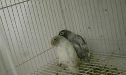 I HAVE 24 LOVE BIRD FOR SALE PAIR AND SINGLE
