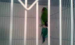 I have an adult bonded pair of lovebirds. They are BOTH females. They can be re-paired if done correctly. They 50.00 for the pair. I do not want to split them up. If interested call Angel.