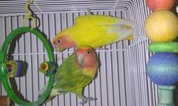 several pair of love birds available $80 per pair pairs are male and female must go need space for larger parrots