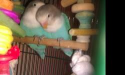 I have two Fischer love birds for a price of 25. Dollars each both are males and are weaned and ready to go they r tame and were hand fed