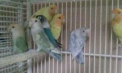Love birds for sale peach face, opaline, fishers, blue black mask no texts or messages prefer if you just call 631 889-6422 thank you