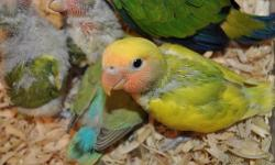 BABY LOVE BIRDS MANY DIFFRENT COLORS. SOME ARE ALREADY EATING ON THERE OWN OTHERS STILL BEING HAND FED. IF INTERESTED PLEASE CALL 786-299-0414