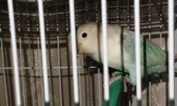 Hi, love birds pair are for sale , , if i didn't pickup call text me. Bilal 347-440-4535.