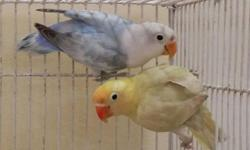 Sable love birds available please contact 305 345-8829 Manny