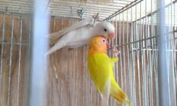 Hi I have lovebirds for sale 305-962-3989 also handfedding if you need it .. You can call o text Daniel This ad was posted with the eBay Classifieds mobile app.