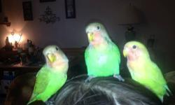 I have three lovebird babies hand fed and very tame. They are 10 weeks old I do have the parents. I would like $50 EACH. They have been raised around children and are very friendly. Am looking for a forever home for them please contact me at 724-205-1631