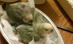 I have two Babies that will be weened in about 10 days and will be ready for a new loving Family. We take pride in raising our babies to be very sweet and loving. all are on the best diets available. Our birds are not only our pets but our Hobby as well,