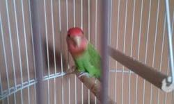 I have a male lovebird for sale. About a year old. Not very friendly but he could be. Very pretty colors, he would make a good breeder or good pet if handled more. Trade or 40.00 obo 8152007375 I also have a very large cage for sale i can send pics