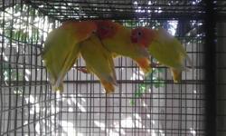 Lovebird para la venta personata violeta $45.00 y ficheri amarilloPinto $60.00 ,blanco,ojos negro ,lutino, albino amarillo ojos negro$75.00 cara amarilla $90.00 Llamar 305-709-7269
