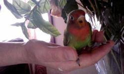 two month baby lovebird for sale if you intrested please text or call 2013151359 serious buyer only