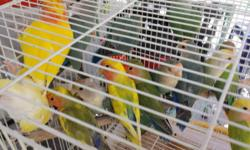 for sale adult lovebird $25 and up opaline and split to opaline. Contact by calling or texting for any questions.