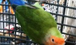 Lovebird - Kitty And Skylar - Small - Adult - Female - Bird Kitty (5 years old) and Skylar (8 years old) are two female peach-faced lovebirds. They are not tame cage pets. They came to us separately but are enjoying living together. They are great pets