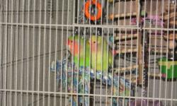 Maui is a beautiful lovebird. She has a great flight cage which comes with her for the price of $75. she has lots of toys and is very peaceful. She is approximately 5 years old and has lots of personality. She is flighted but pet quality. She has been