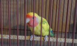 lovebird heavy pieds male. he is 7 month old .untamed. ready to breed. ino, cinnamon and many variety genes.