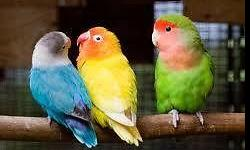 Come visit us at Arrieros Pet Shop and take advantage of our sale!! We have a SALE going on for a pair of Lovebirds with cage only $80...Hurry before their gone!!! Visit us at: Arrieros Pet Shop 2550 Imperial Ave San Diego, CA 92102 619-677-3269