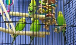 Lovebird - Tiny & Petree - Small - Adult - Bird Love birds will be love birds. Petree is in love with Tiny. The ideal would be for them to stay together. They are happy to hang out in their cage while you clean it and millet is one of their favorite