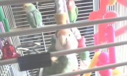 I have some lovebirds I would like to find homes for. I have a male that is green with a red head. He is skiddish in the cage but a lover once you get him out. And I have 2 females. They are both green, one has a yellow head and the other an orange head.