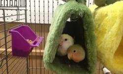 Baby lovebirds 12-13 weeks old. Weaned onto varied diet but mostly fed pellets with fresh treats etc. to ensure a consistent diet rich in nutrients. I have a few colors to choose from (see pics). I am picky as to where these birds are homed and prefer a