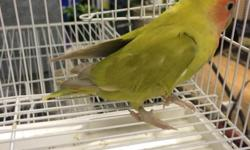 I have the current birds for sale: Breeder(s): Cinnamon PeachFaced Lovebird(Female): 40$ Pet(s): 2 Young handfed baby (D green(Jade) possibly split lutino, opaline, and orangeface) lovebirds unsexed: 55$ each once weaned Trades Also Accepted! I am located