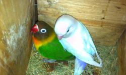 I have Rare lovebird breeders lutino fischer & white mask fischer to rehome they are outside birds & not tame..They are young1-2 years old very healthy.. I feed them healthy diet Little Beak Treat soak & cook from miller feed If your familiar of this